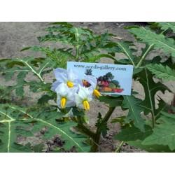 Λίτσι ντομάτας - Litchi σπόρων (Solanum sisymbriifolium) Seeds Gallery - 10