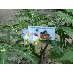 Litchi Tomato Seeds (Solanum sisymbriifolium) Seeds Gallery - 10