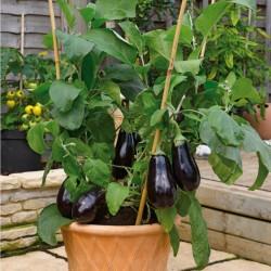 Medium Long Eggplant Seeds  - 1
