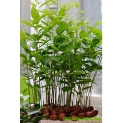 Sweet chestnut - Marron Seeds