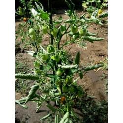 Semillas de tomate Fiaschetto Seeds Gallery - 6