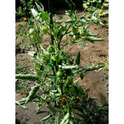 Fiaschetto tomatfrön Seeds Gallery - 6