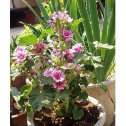 Sementes de Malva sylvestris - Planta Medicinais  - 2