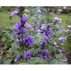 Sementes de Malva sylvestris - Planta Medicinais  - 3