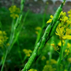 Sementes de Mostarda-Preta (Brassica nigra)  - 3