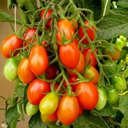 Semillas de tomate Piccadilly  - 2