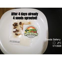 Pistachio Seeds (Pistacia vera) (Antep Pistachio)  - 9