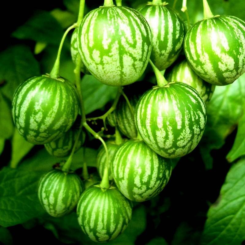 Tzimbalo frön (Solanum caripense)  - 5