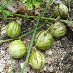 Tzimbalo frön (Solanum caripense)  - 4