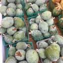Semillas de chile Chiltepin Bonsai