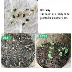 Semillas de CONCHITA AZUL (Clitoria ternatea) Seeds Gallery - 8