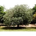 Sementes Pêra-nashi ou náxi (Pyrus pyrifolia)