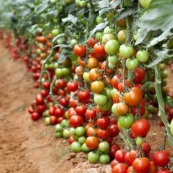 Semillas de tomate de Coral