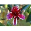 Sementes De Billardiera Longiflora - Trepadeira De Maças Roxas