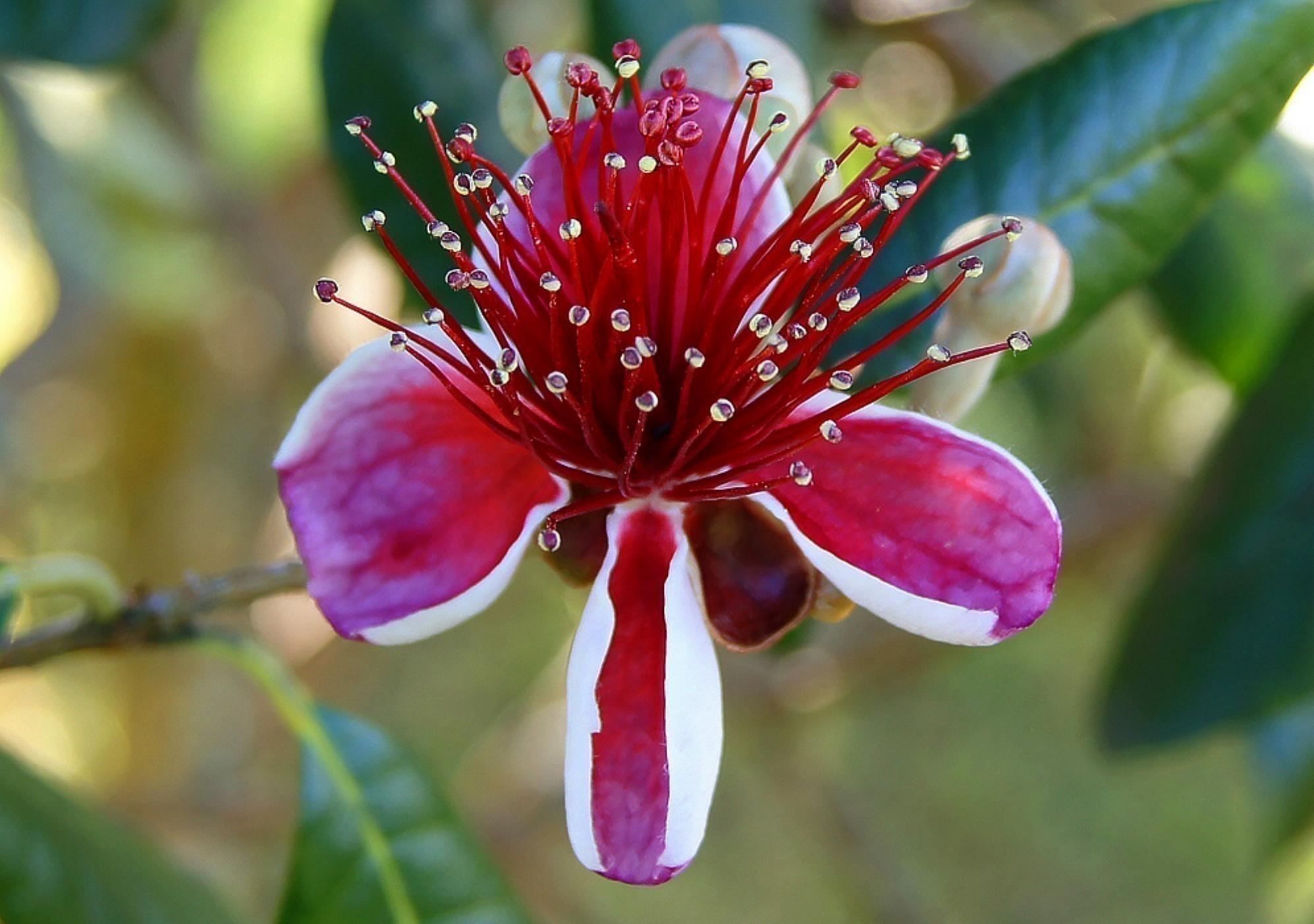 Semillas de manzana azul de australia billardiera longiflora for Semillas de cactus chile