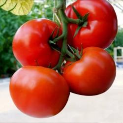 Seme Madjarskog paradajza...