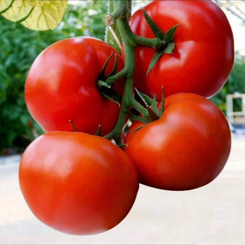 Hungarian Kecskemeti Tomato Seeds (Mobil)  - 2