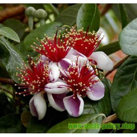 Semillas de Manzana Azul De Australia (Billardiera longiflora)