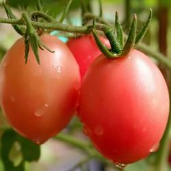 Otantik Tayland domates tohumları Sida  - 4