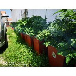 Aji Charapita chili Seeds 2.25 - 11