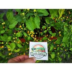 Aji Charapita chili Seeds 2.25 - 12
