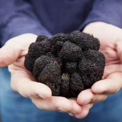Black Truffle Mycelium (Tuber melanosporum)  - 1