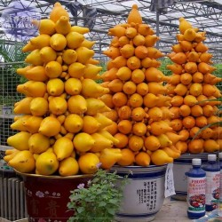Kuheuterpflanze Samen (Solanum Mammosum)  - 1