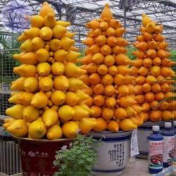 Sodom elma tohumlar (Solanum mammosum)  - 1