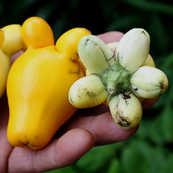 Semi di pianta dei capezzoli (solanum mammosum)  - 2