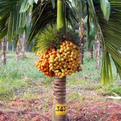 Areca Nut Palm, Betel Palm Seeds (Areca catechu)  - 1
