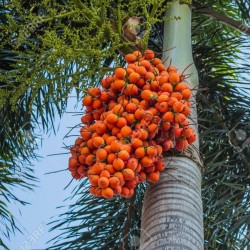 Areca Nut Palm, Betel Palm Seeds (Areca catechu)  - 2