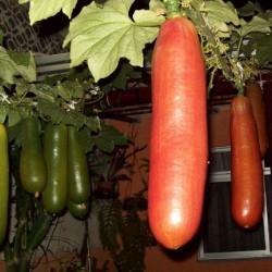 Cassabanana Seeds (Sicana odorifera)  - 5