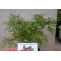 Σπόροι Bonsai Chili Chiltepin
