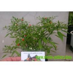 Semi Chili Chiltepin Bonsai