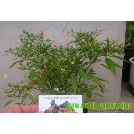 Graines Bonsai Chili Chiltepin