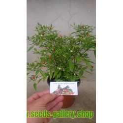 Σπόροι Bonsai Chili Chiltepin