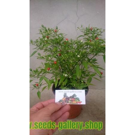 Chili Chiltepin ( TEPIN ) Bonsai Seme