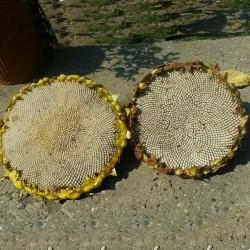 Giant White Sunflower Seeds