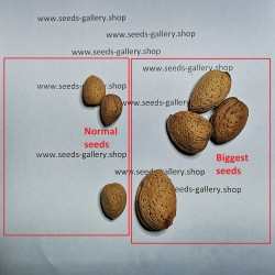 Graines de AMANDE DOUCE (Prunus amygdalus)  - 5