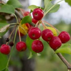 Kirschapfel - Beerenapfel Samen (Malus baccata)  - 1