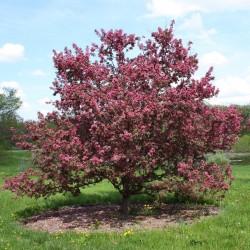 Kirschapfel - Beerenapfel Samen (Malus baccata)  - 2