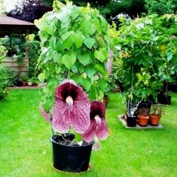 Agrostis gigantean Seme – Biljka mesozderka  - 4
