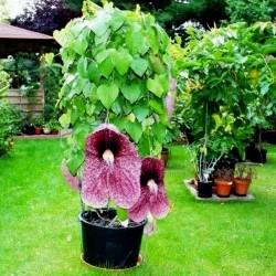Gespensterblume , Pfeifenwinden , Osterluzei Samen fleischfressend  - 4