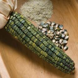Oaxacan Yeşil Mısır tohumları  - 1