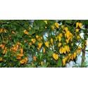 Σπόροι Φρούτα Naranjilla Lulo (Solanum quitoense)