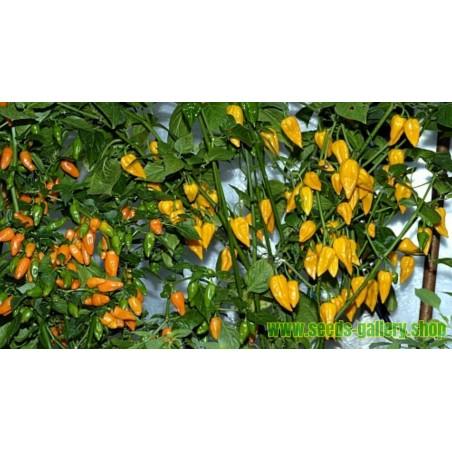 Naranjilla Frö (Solanum quitoense)