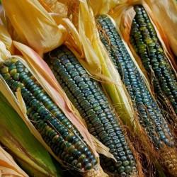 Семена сахарной кукурузы Оахакан Грин  - 2