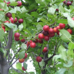 Kirschpflaume Samen Frosthart Seeds Gallery - 2