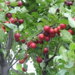 Σπόροι Προύνος δέντρο - Καλλωπιστική Δαμασκηνιά Seeds Gallery - 2