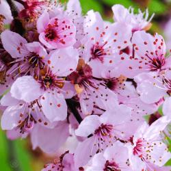 Körsbärsplommon Frön (Prunus cerasifera) Seeds Gallery - 3